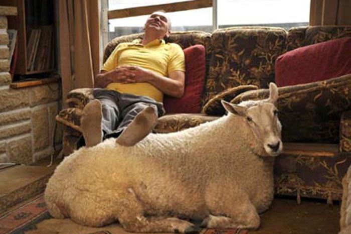 овца под ногами у фермера